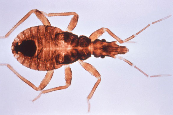 Triatoma_infestan