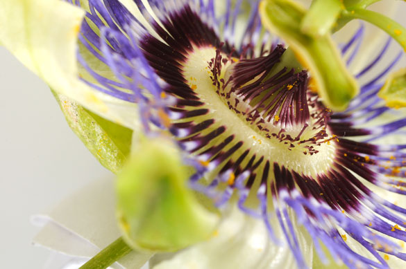 Passiflora caerulea. Foto: CePro-EXACTAS