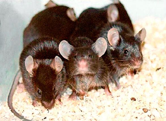 ratonesromano2