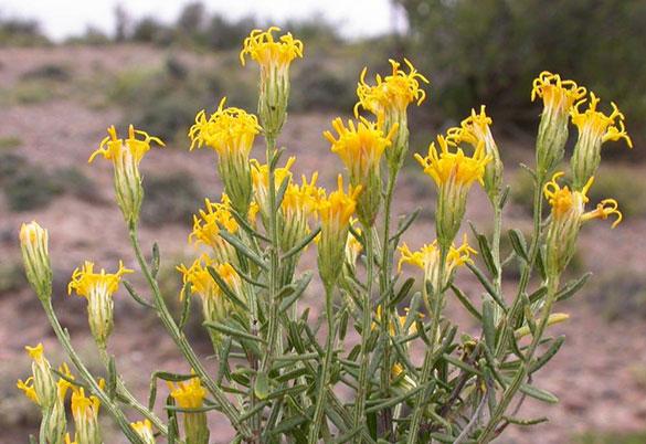 Nardophyllumchiliotrichioides x Mauricio Bonifacino