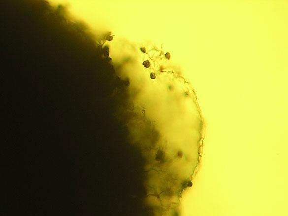 Peridio (menbrana delgada) de Diachea leucopoda observado bajo microscopia optica