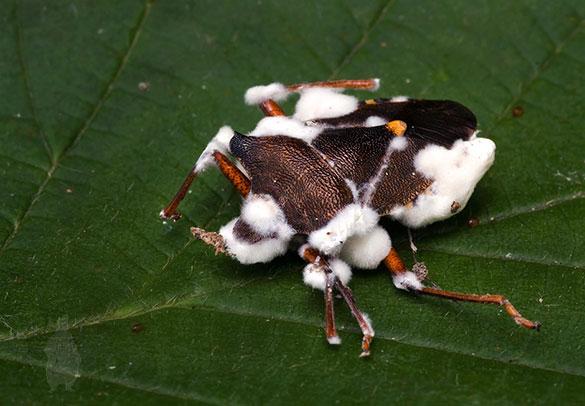 Estos hongos infectan a un insectosano y le causan una enfermedad que le produce la muerte