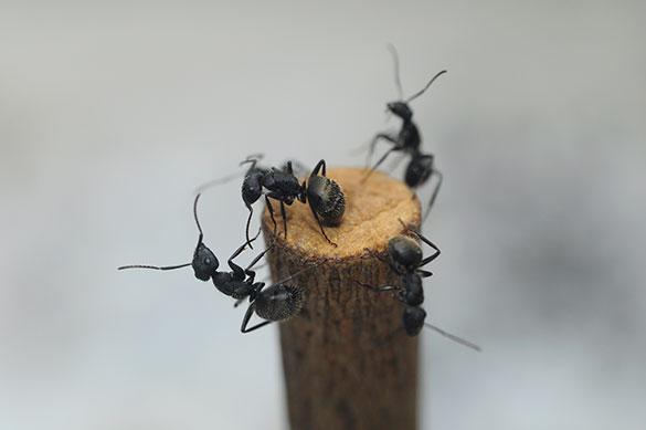 Hormigas obreras. Foto: Diana Martinez LLaser