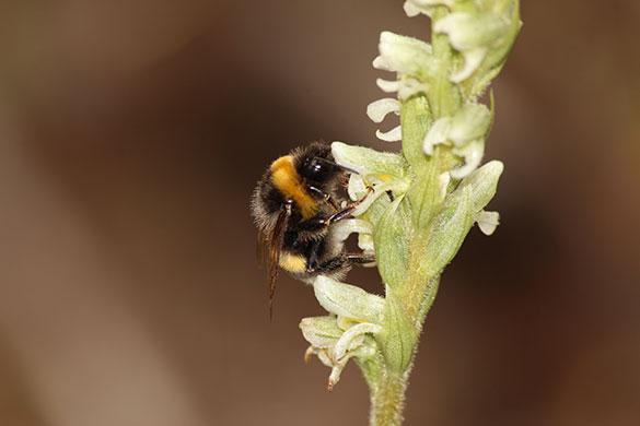 Bombus terrestris abejorro en una orquídea. Foto: gentileza Agustín Sanguinetti.