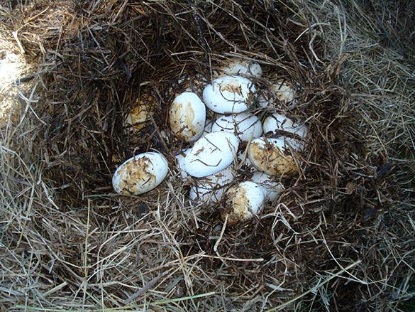Para estudiar el efecto de las fumigaciones, los investigadores recogen los huevos de iguana de los nidos, realizan un seguimiento en el criadero y luego examinan a las crías, para determinar si están dañadas. Fotos: gentileza Marta Mudry.
