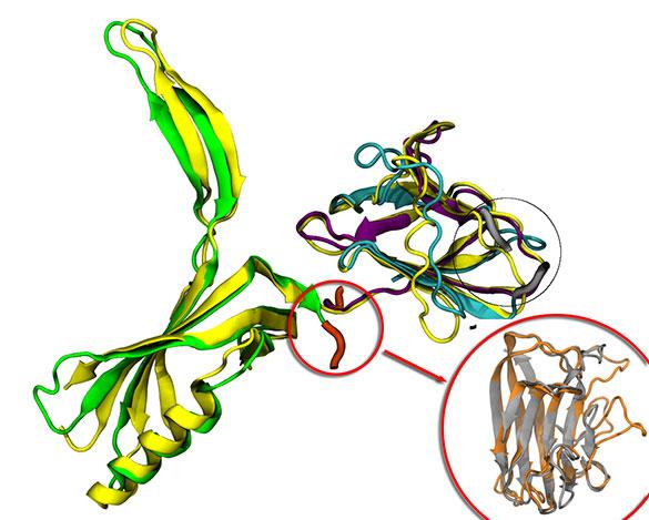 Modelado de la proteína gp16 del virus encargada del reconocimiento del huésped bacteriano.