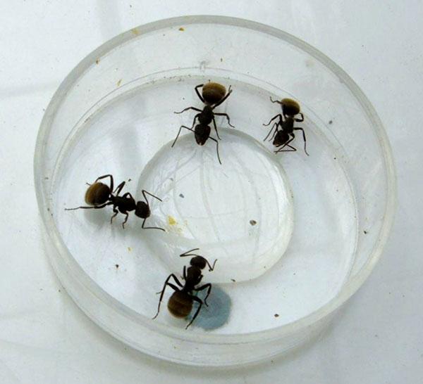 Los investigadores confirmaron que a mayor temperatura ambiente, estas hormigas succionan más rápido y toman un mayor volumen al finalizar la ingesta. O sea que, a la hora de colocar cebos, conviene hacerlo en días más cálidos que fríos.