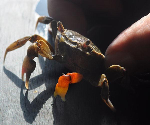 La presencia de glifosato y atrazida en su hábitat altera el ciclo reproductivo de los cangrejos de estuario en términos de la maduración gonadal, la calidad de la progenie y de las chances de sobrevivir.