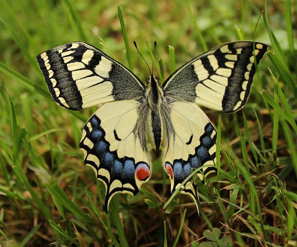 Algunas mariposas presentan una coloración muy llamativa para ahuyentar a potenciales predadores. Se trata de aposematismo, estrategia en la que la presa, que es tóxica o dañina para el predador, exhibe una señal de advertencia, como el color intenso. Pero esas señales se vuelven engañosas cuando son explotadas por otras presas no tóxicas, es lo que se conoce como mimetismo batesiano.