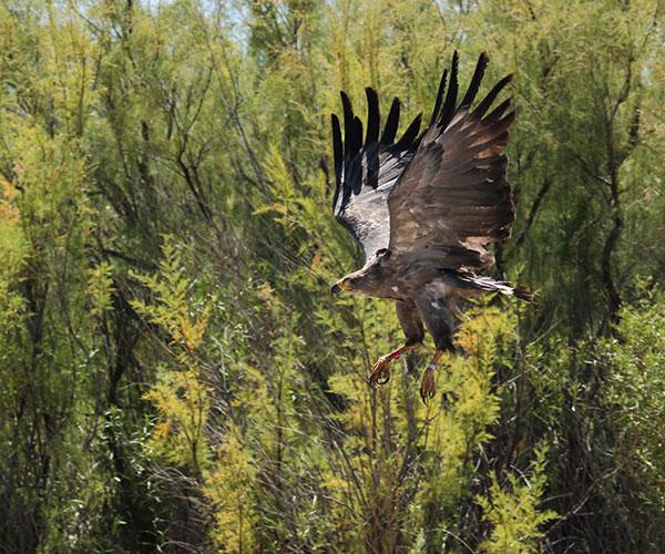Cuando despliega sus alas, el águila coronada puede llegar a alcanzar casi los dos metros de envergadura. A pesar de ser una de las aves de mayor tamaño de la Argentina, no es fácil de observar por la escasa cantidad de ejemplares que habitan nuestro país. Foto: Amira Salom.