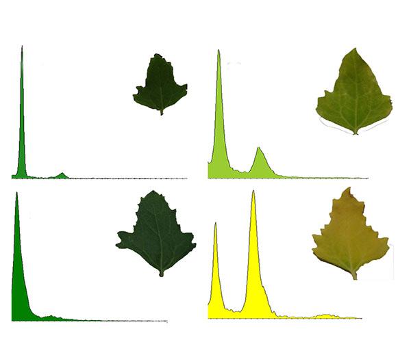 El equipo de científicos encabezado por Sara Maldonado  la relación investiga, entre otros temas, la relación entre el envejecimiento de las hojas y la duplicación del ADN.