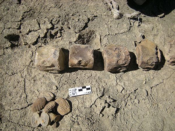 Restos fósiles del plesiosaurio.