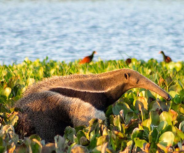 En la Argentina, el oso hormiguero, el ciervo de las pampas y el yaguareté son algunos de los animales que han acaparado el interés de los conservacionistas. Foto: Fernando Flores/Flickr