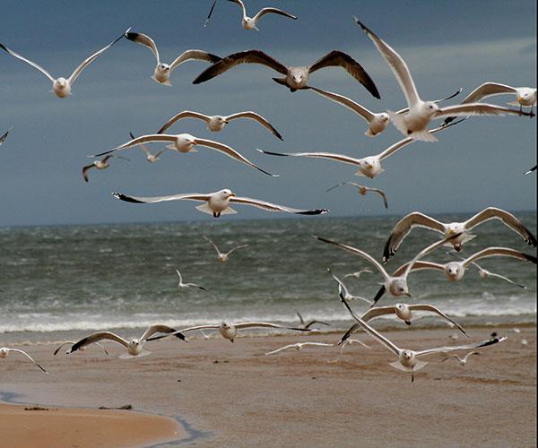 La gaviota cocinera es un ave que tiene la posibilidad de comer una gran variedad de alimentos. Tiene la capacidad, como los humanos, de comer de todo y adaptarse a cualquier ambiente. Es lo que en ecología se denomina especie generalista. Foto: John Haslam.