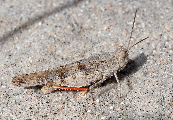 Escindidos durante milenios de milenios, los distintos agrupamientos de estos insectos no compartieron los cambios en el ADN  y estos se fueron acumulando hasta, eventualmente, divergir tanto como para ser considerados especies diferentes. Foto: Mike Boone.