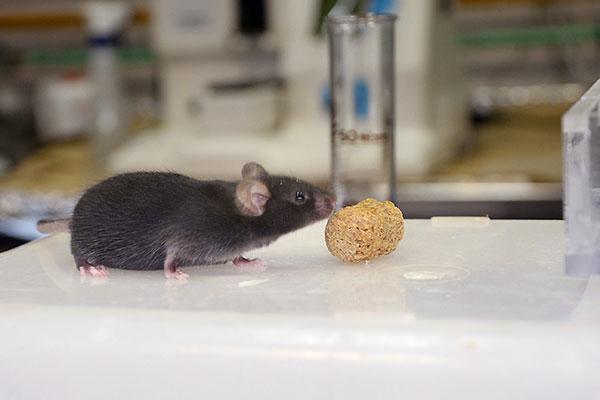 Urbano y su equipo, utilizando ratones modificados genéticamente, observaron que la cafeína, de igual modo que la cocaína, altera el funcionamiento de los receptores de serotonina en el cerebro.