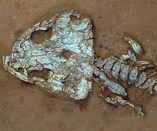 Cráneo de Timonya anneae. Foto: Claudia Marsicano.