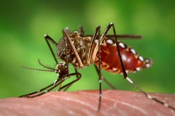 Ejemplar de mosquito Aedes egypti. Foto: JamesGathany.