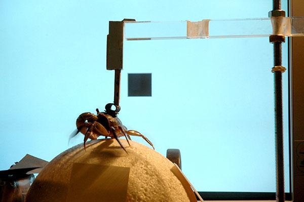 """Uno de los experimentos consiste en poner al animal a correr sobre una esfera """"donde registramos la velocidad, y la dirección hacia donde corre. Es como una cinta de correr de un gimnasio. Luego, buscamos las neuronas que responden frente a los distintos estímulos que dan este tipo de comportamiento"""", indica Daniel Tomsic. Foto: Archivo Exactas-Comunicación"""