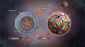 Corte de un virus de dengue que muestra sus componentes estructurales. Girish Khera, Scientific Animations.