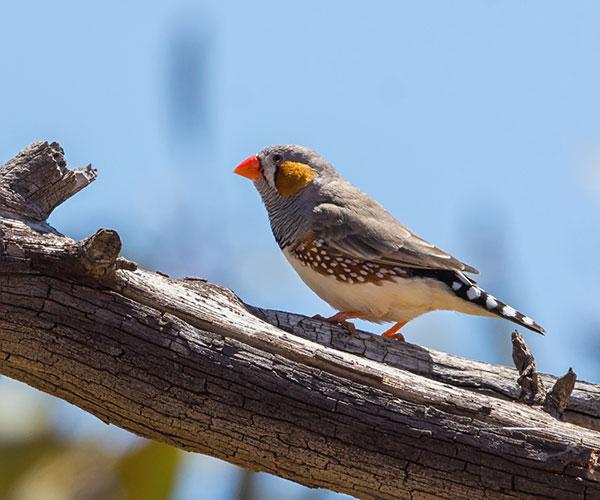 El diamante mandarín (Taeniopygia guttata), a diferencia del resto de la mayoría de las aves, aprende a cantar de su padre o un tutor, como ocurre con los humanos a la hora de lanzarse a hablar. David Cook/Flickr.
