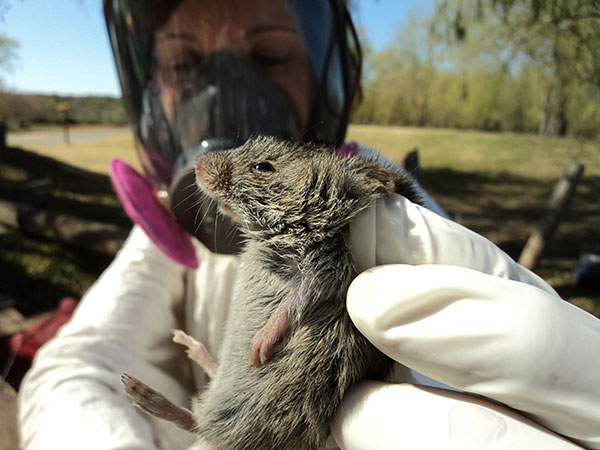 Trabajo de campo con ratones colilargos. Foto: Gentileza Isabel Gomez Villafrañe.