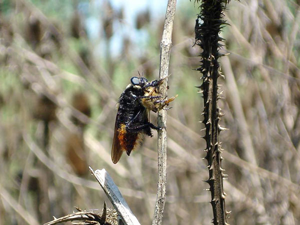 Las hembras del moscardón hacen un vuelo prolífico para depositar miles de huevos en alambrados y sitios altos, que al poco tiempo desatarán una lluvia de larvas. Y allí comienza la odisea.