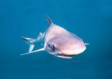 tiburon_D