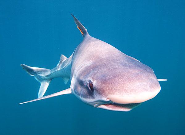 El número de ejemplares de la especie de tiburón, popularmente denominada cazón, descendió en los últimos años en un 80 por ciento. Foto: Gastón Trobbiani