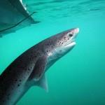 tiburon_N3