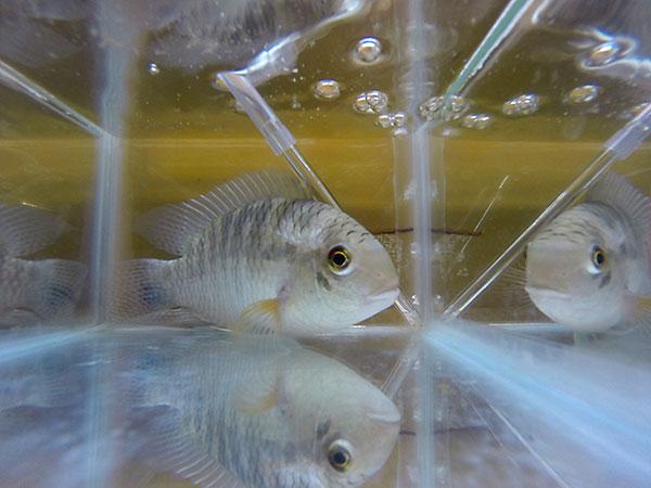 Los investigadores indagaron en peces los efectos de la fluoxetina, principio activo de uno de los primeros antidepresivos, comercializado bajo el nombre de Prozac. Foto: Paula Bassi.