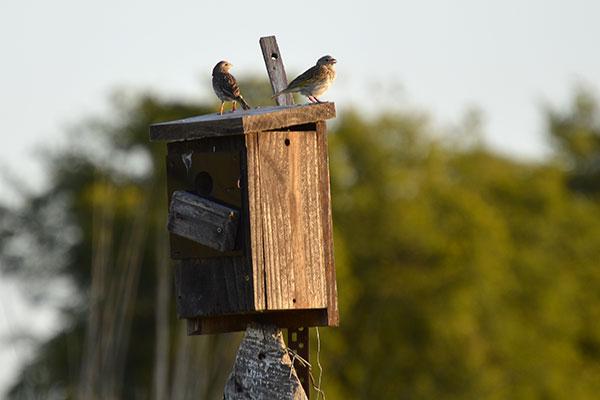 Los investigadores trabajan con aves en libertad, que nidifican espontáneamente en una colonia de cajas nido ubicada en el campo que rodea el Instituto de Investigaciones Biotecnológicas del Instituto Tecnológico Chascomús. Foto: María Juliana Benítez Saldívar.