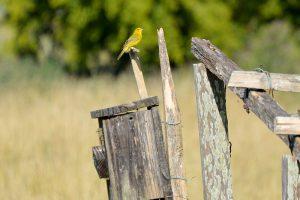 Los machos del jilguero dorado cambian el color de sus plumas durante su segundo año de vida. Foto: María Juliana Benítez Saldívar.