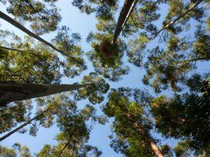 Las forestaciones de eucaliptos son menos eficientes que los bosques nativos para atrapar el dióxido de carbono.