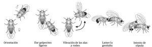 Proceso del cortejo en varias especies del género Drosophila.