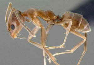 Hormiga argentina. Foto: AntWeb.org.