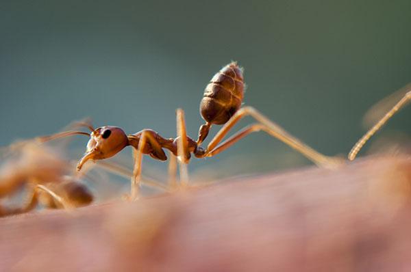 Cinco especies de hormigas exportadas desde nuestro país son muy conocidas en el mundo por los daños que generan. Estas criaturas causan daños irreversibles en los ecosistemas que afectan, principalmente, a otros insectos y arácnidos, y a otras especies de hormigas.