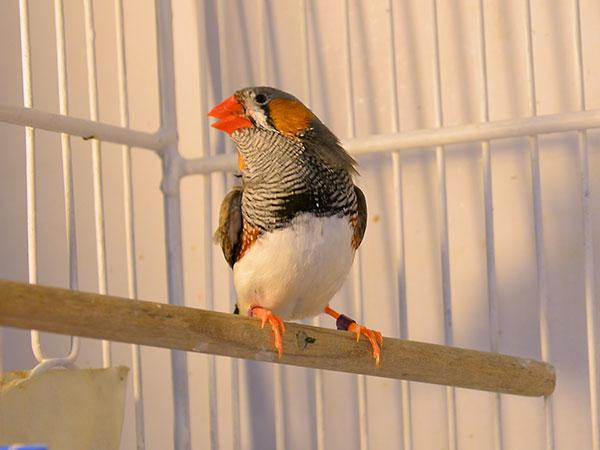 El diamante mandarín es un pájaro muy pequeño y muy vistoso. El macho comienza a cantar en la pubertad, y va perfeccionando su canto a medida que crece, aprendiendo de su padre o de otros machos adultos. Foto: Archivo Exactas Comunicación.