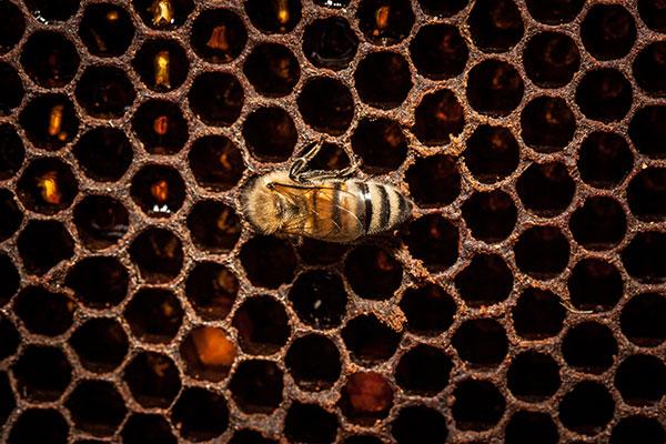 Tanto el glifosato como los neonicotinoides permanecen un tiempo en el néctar floral que las abejas recolectan y llevan a la colmena. Foto: Riccardo Meneghini.