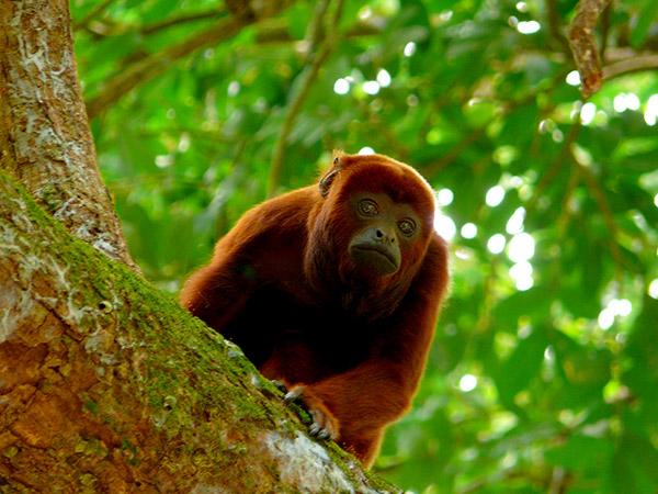 El mono aullador rojo se encuentra en peligro de extinción. Foto/Luis Zabala Flickr
