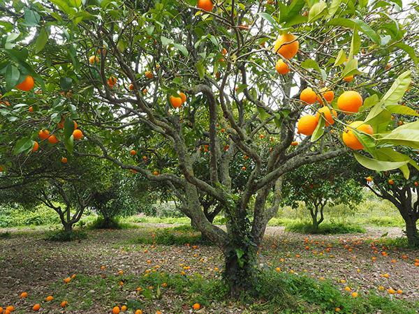 En nuestro país las primeras plantas enfermas fueron detectadas en la provincia de Misiones en el año 2012.