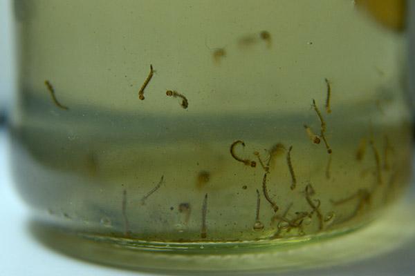 Los científicos observaron que las larvas y pupas de Aedes aegypti también se desarrollaban en aguas de distintos colores, con materia orgánica y en recipientes sucios. Foto Diana Martinez Llaser.
