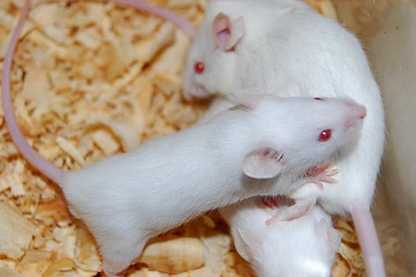 """""""Los animales que fueron tratados con el fármaco en forma prenatal y mostraron menor sociabilidad, al crecer con ratones control, llegaron a adultos con una sociabilidad normal"""", precisa la investigadora Amaicha Depino,"""