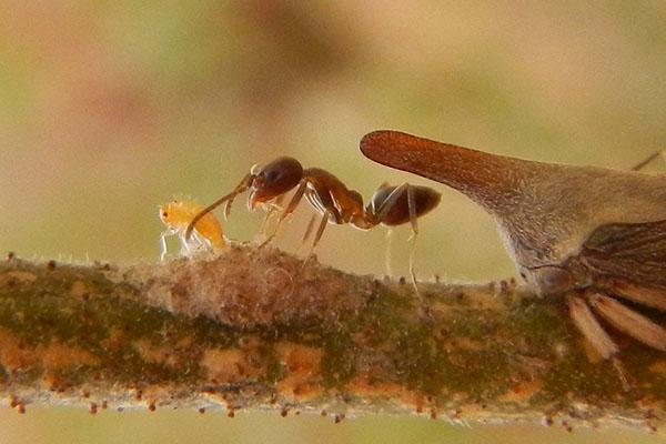 """Uno de los insectos más """"extraños"""" de los cuales la hormiga argentina colecta melaza son los membrácidos. Estos insectos, al igual que la cochinilla de la vid, también se alimentan de la savia de las plantas y se encuentran en el monte nativo aledaño a los viñedos."""