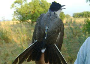 Unos 286 geolocalizadores fueron colocados para no perder rastro de estas aves.