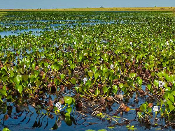 El camalote arraigado (Eichhornia azurea) fue capaz de tolerar y acumular grandes concentraciones de cadmio en su biomasa.