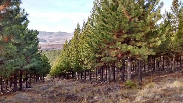Plantación de pino ponderosa, una especie exótica en la Patagonia argentina