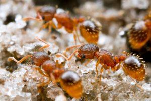 Ante temperaturas extremas, estas hormigas quedan inmovilizadas pero vivas. Si se las saca de esa situación vuelven a andar.