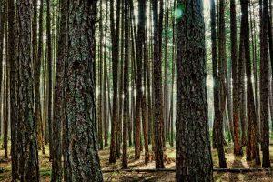 La reforestación con pino o eucalipto no está recomendada en ninguna circunstancia que pueda poner en peligro los bosques nativos.