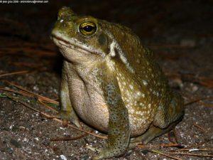 Los anfibios son uno de los vertebrados más sensibles a la contaminación ambiental.